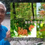 [台灣原生植物解說]陳建中老師介紹錫蘭橄欖與杜英科